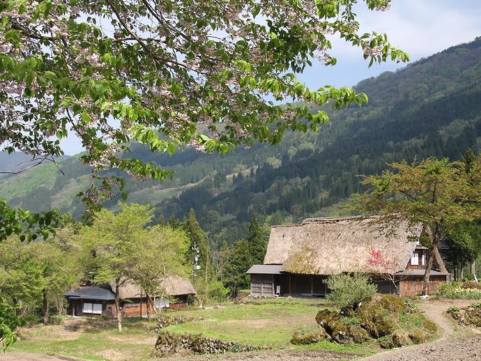 相倉合掌造り家屋と桜の青葉