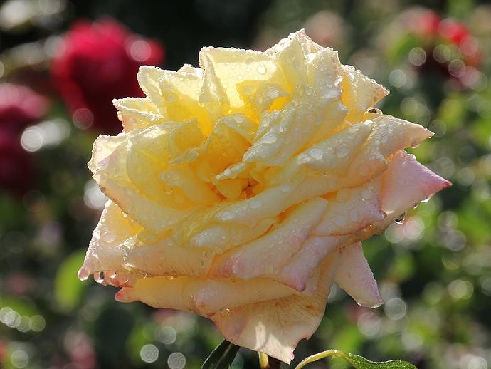 雨上がり 滴をまとったバラ(金沢市のバラ園にて)
