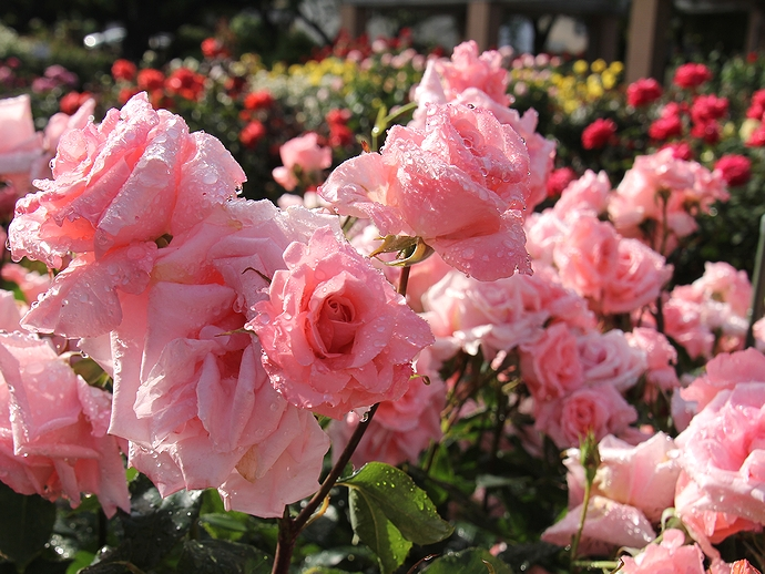 金沢南総合運動公園バラ園のバラ 滴をまとって