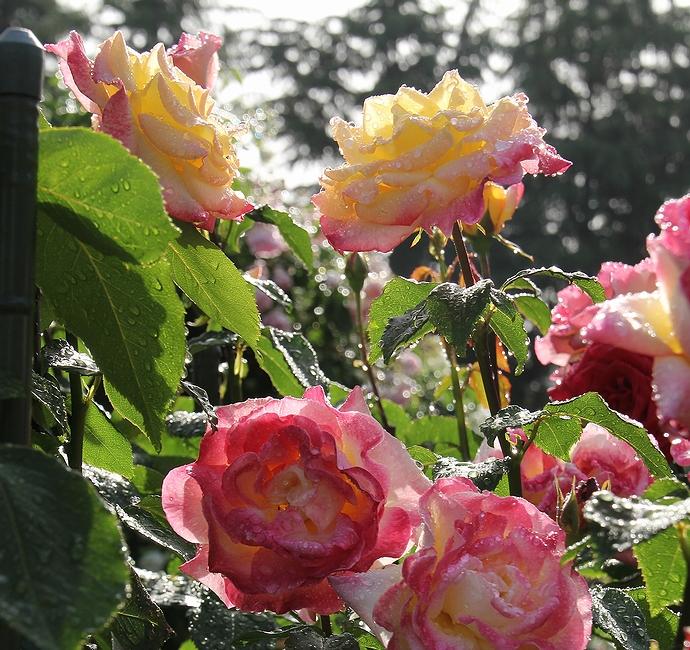 雨上がりの朝のバラ園(石川県金沢市)