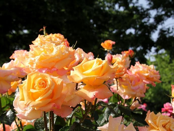 日差しを浴びたオレンジのバラ(金沢市のバラ園にて)