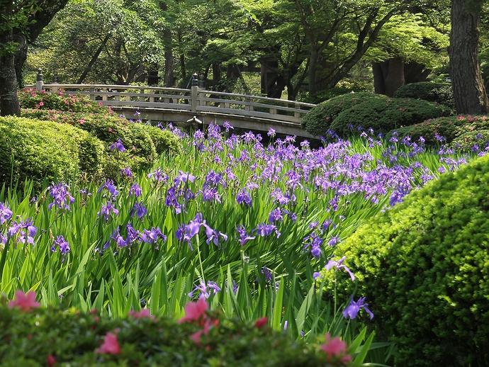 兼六園の曲水を彩るカキツバタ(花見橋)