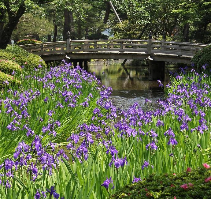兼六園のカキツバタと花見橋