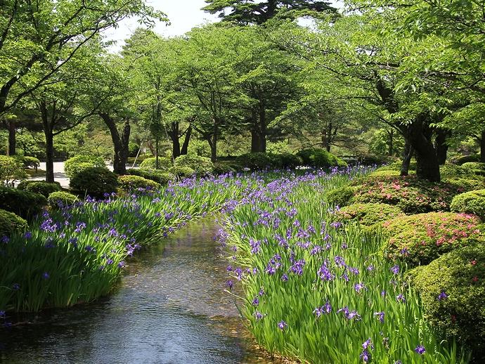 花見橋から見た曲水のカキツバタ(金沢市兼六園にて)