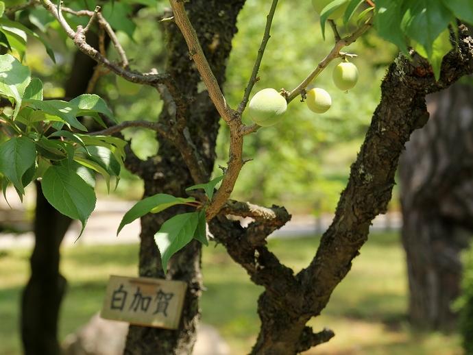 兼六園の「白加賀」 梅の実が実る