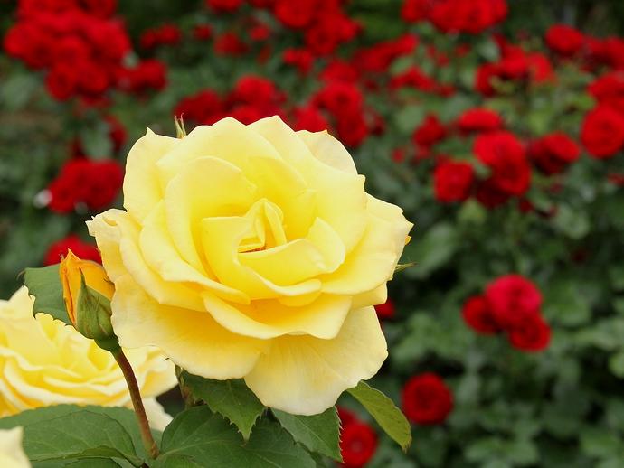 氷見あいやまガーデンのバラたち