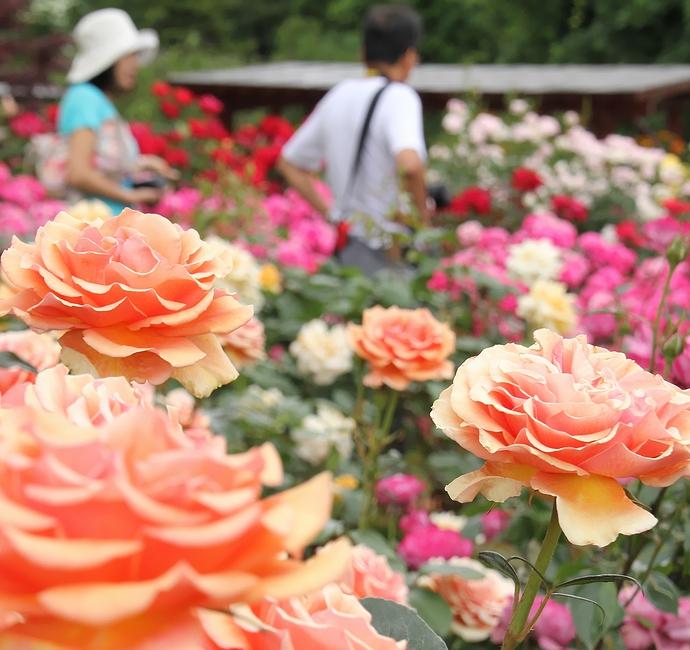 バラが満開! 氷見あいやまガーデンローズ園
