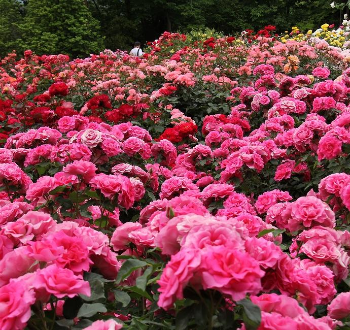 バラが満開!カラフルなバラ園(氷見あいやまガーデンローズ園にて)
