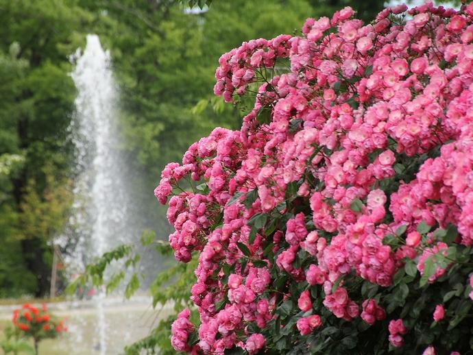 バラと噴水(氷見あいやまガーデンにて)