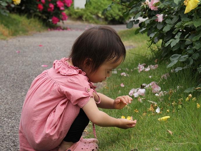 バラの花びらを集めて(あいやまガーデンにて)