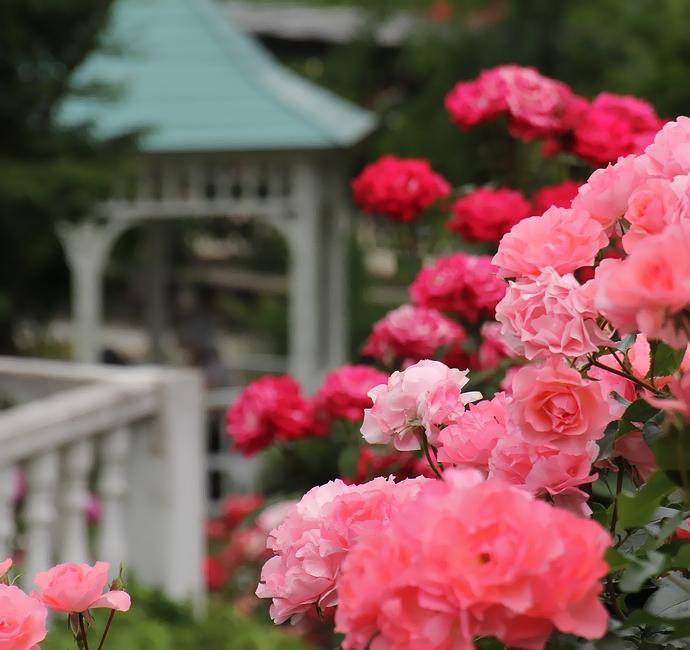 バラ園に咲くピンクのバラたち(氷見あいやまガーデン)
