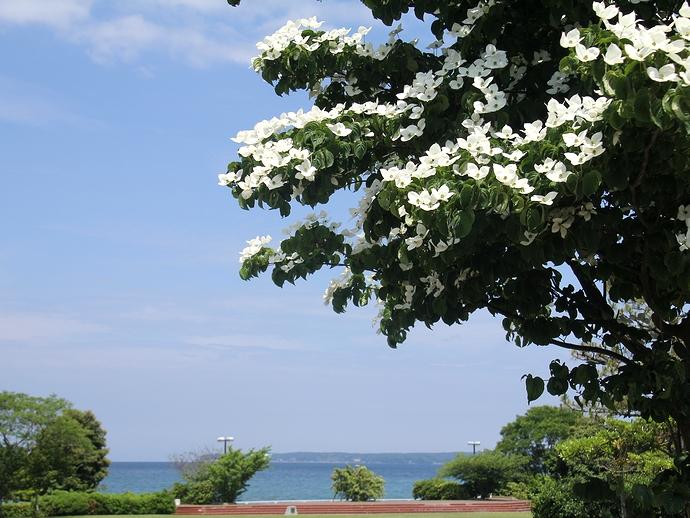 ヤマボウシの花 能登島大橋ロードパークにて