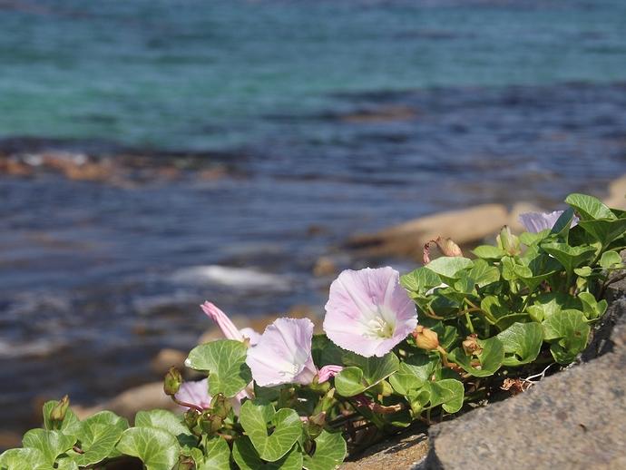海辺に咲くハマヒルガオ(能登島にて)