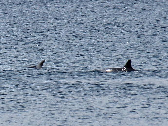 仲良く泳ぐイルカたち 能登島の北岸にて