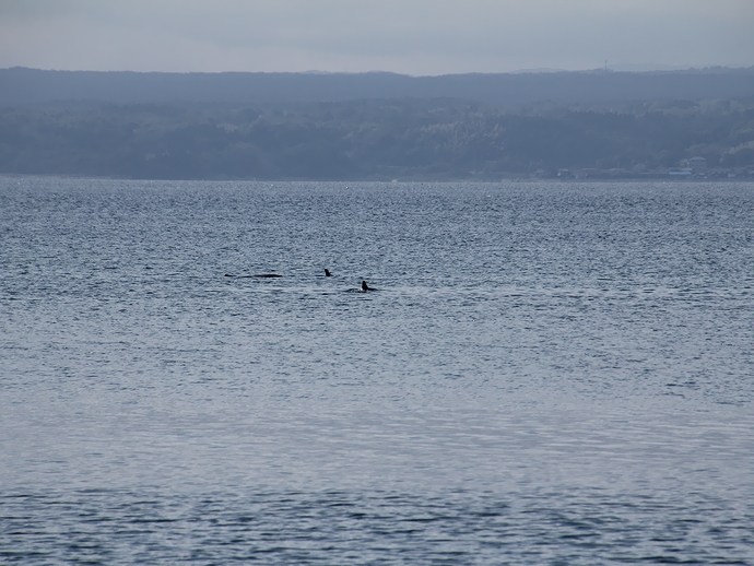 イルカを目撃!能登島の北岸にて