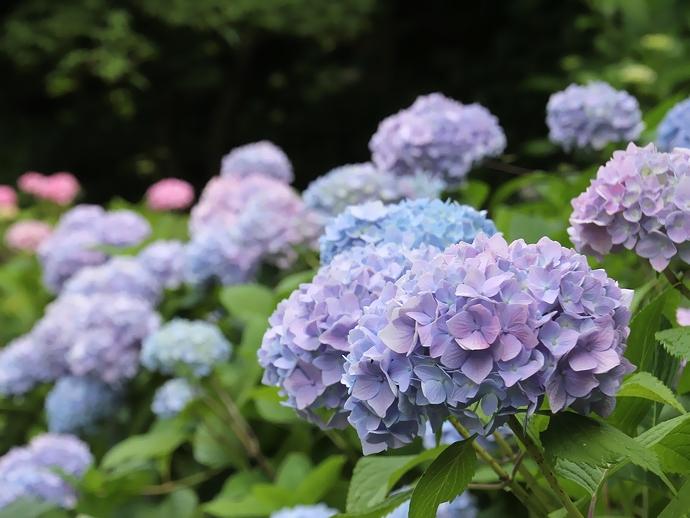 咲き始めた紫陽花(卯辰山花菖蒲園にて)