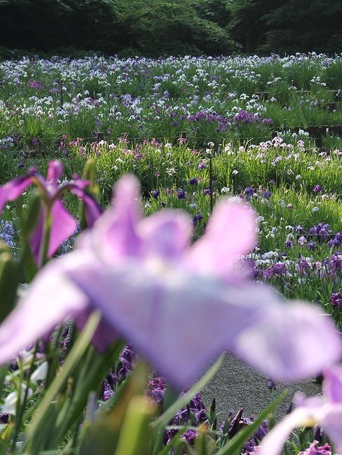 朝の花菖蒲園
