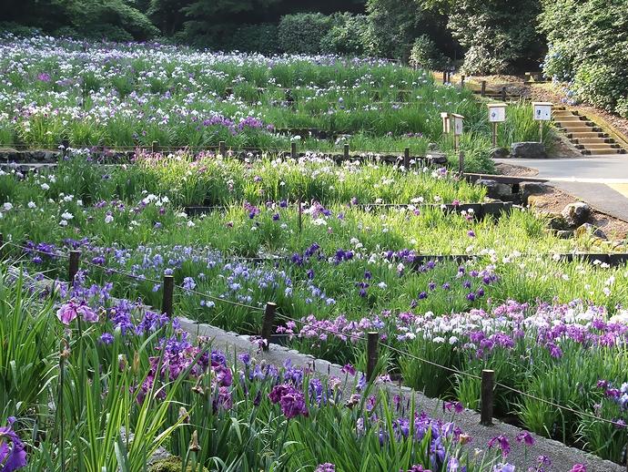 陽射しが当たる花菖蒲園