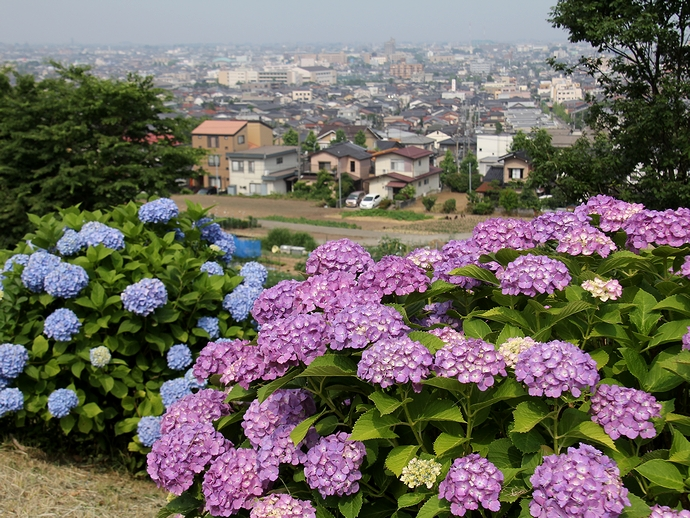 金沢の街をバックに 大乗寺丘陵公園のあじさい園
