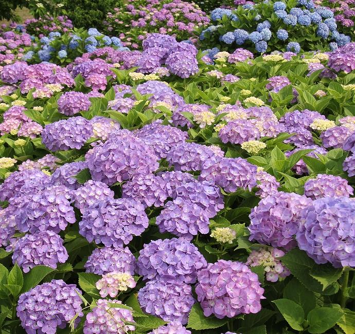 カラフルな紫陽花絶景(金沢市大乗寺丘陵公園のあじさい園)