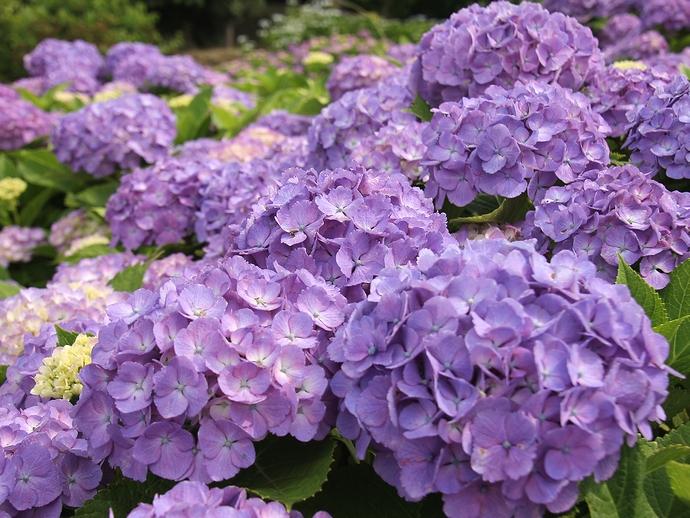 紫が咲き乱れ 金沢市大乗寺丘陵公園のあじさい園