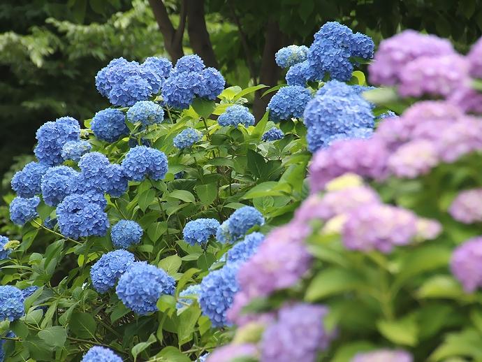 梅雨の花の代表格紫陽花(金沢市大乗寺丘陵公園にて)