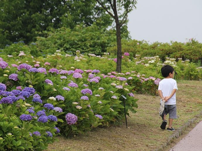 アジサイ園を散歩するチビっ子 大乗寺丘陵公園にて