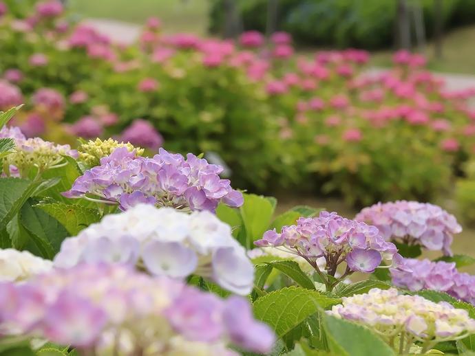 大乗寺丘陵公園のあじさい園 紫とピンクの紫陽花
