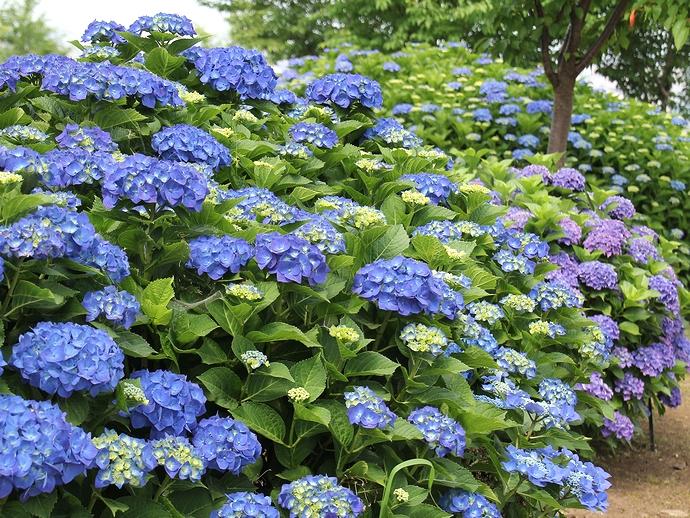 大乗寺丘陵公園の緑とアジサイの花