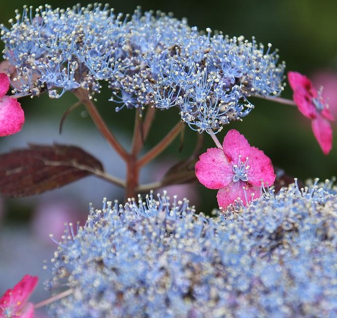 大乗寺丘陵公園に咲く様々なアジサイたち(金沢市)
