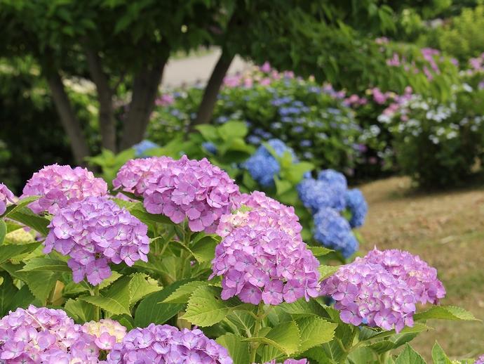 梅雨の花 カラフル(金沢市大乗寺丘陵公園にて)