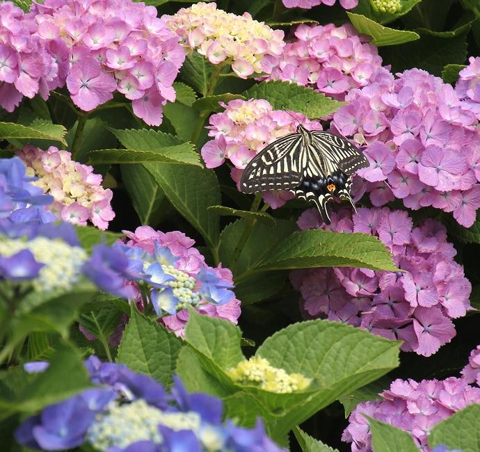 紫陽花で羽を休めるアゲハチョウ