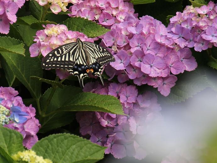 紫陽花にアゲハチョウが止まる(金沢市大乗寺丘陵公園にて)
