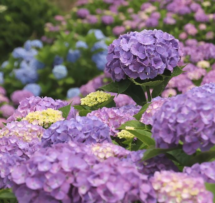 金沢市大乗寺丘陵公園の紫陽花