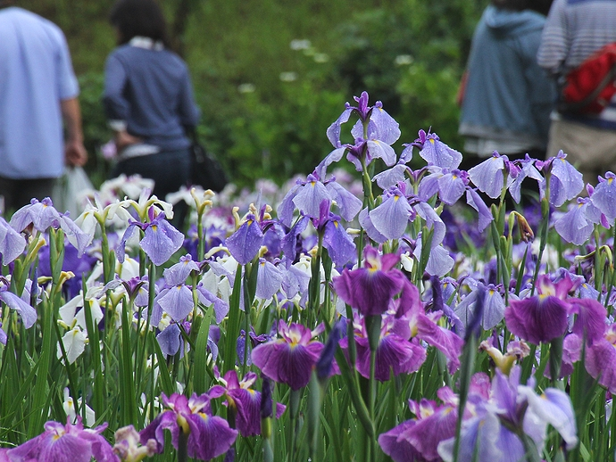 花ショウブ咲く頼成の森