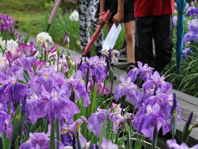 足元を彩る紫の花たち(砺波市頼成の森花菖蒲園)