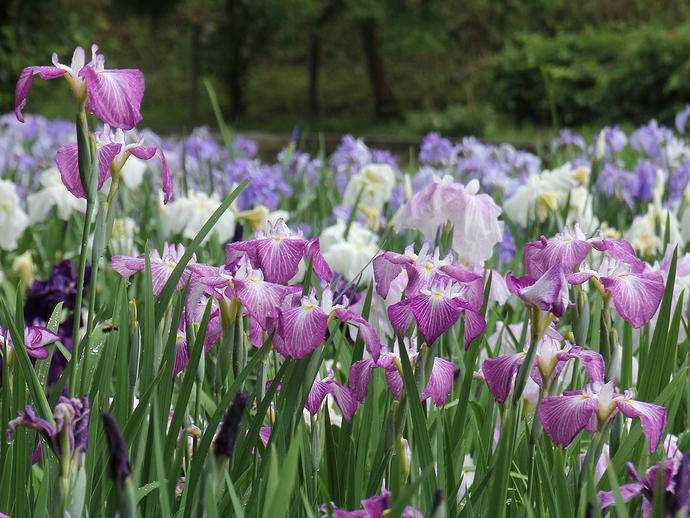 頼成の森を彩る花菖蒲たち