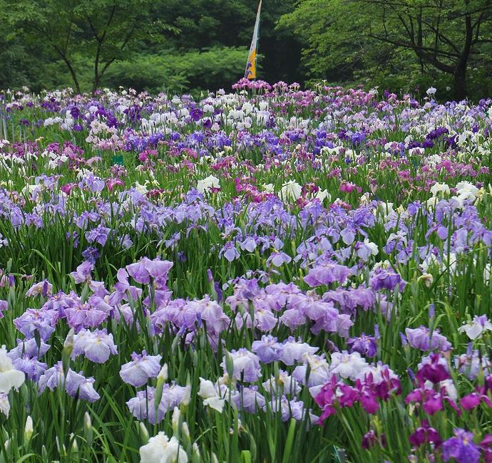 砺波市頼成の森の花菖蒲園