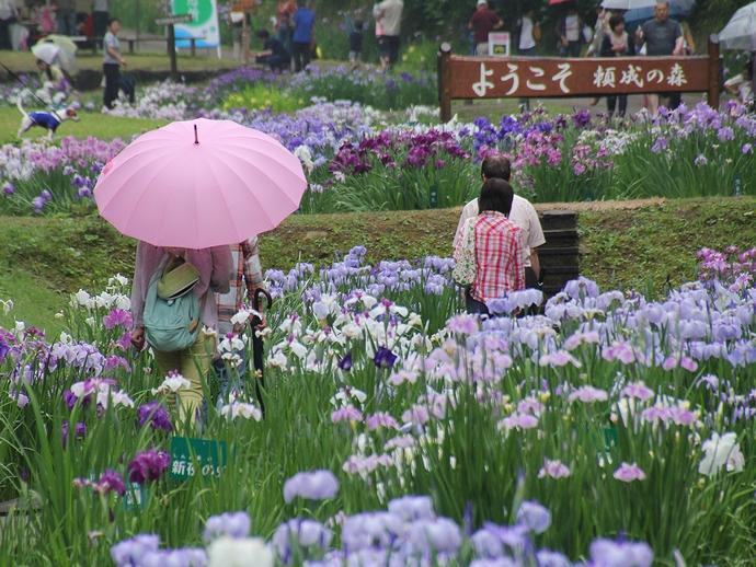 雨降る梅雨の花菖蒲園(富山県砺波市にて)