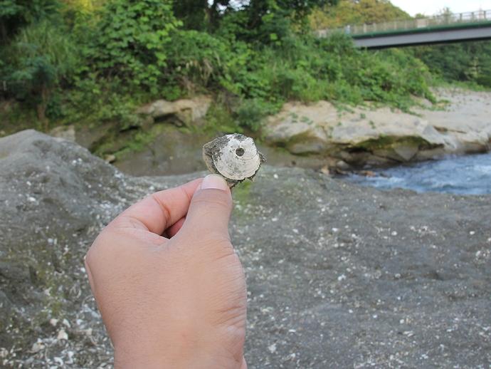 簡単に化石が採れた!犀川の大桑層露頭にて