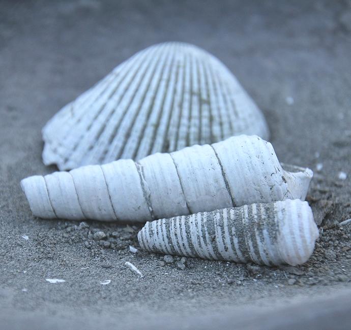 犀川中流大桑層の貝化石たち(金沢市にて)