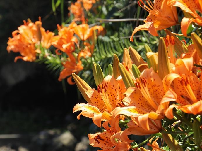 城ヶ島に咲くユリの花