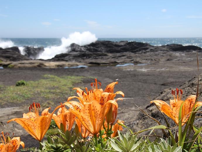 城ヶ島公園 岩場に咲くスカシユリ