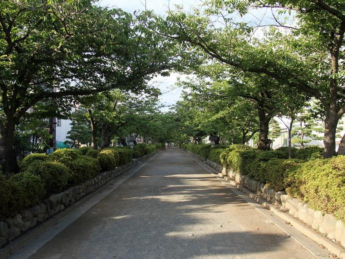 段葛の桜並木(鎌倉市にて)