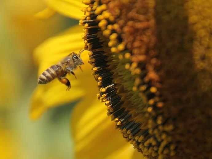 ひまわりとミツバチ(金沢市平栗のひまわり畑)