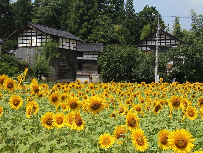 山里のひまわり畑(金沢市平栗地区にて)