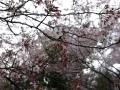 蒲郡市中央公園の桜11