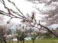 蒲郡市中央公園の桜12