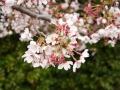 蒲郡市中央公園の桜13