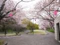 蒲郡市中央公園の桜1